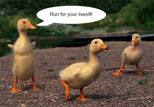 Run Ducks Run